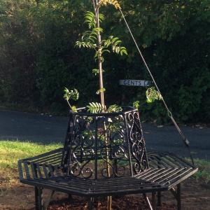 Rowan tree and bench2